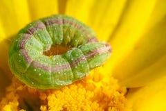 Caterpillar op een paardebloem stock foto's