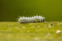 Caterpillar op hout Stock Afbeeldingen