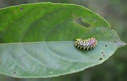 Caterpillar op installatie die blad eten stock afbeeldingen