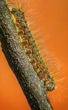 Caterpillar orange sur la brindille sur le fond orange Photographie stock