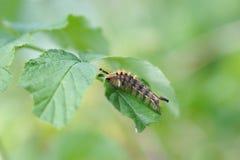 Caterpillar of orgyia antiqua Royalty Free Stock Photos