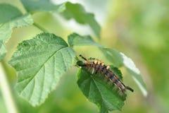 Caterpillar of orgyia antiqua Stock Photo