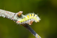 Caterpillar overcomes obstacles. To find food Stock Images