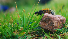 Caterpillar overcoming obstacles Stock Photo