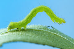 Caterpillar på bladmakrofotoet Royaltyfri Fotografi