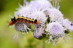 Caterpillar på blommor Fotografering för Bildbyråer