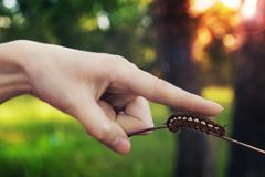 Caterpillar på en pinne arkivbild