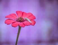 Caterpillar på en Zinniablomma Royaltyfria Bilder