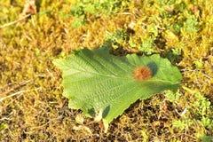 Caterpillar på ett blad Royaltyfri Foto