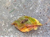 Caterpillar på ett blad Arkivfoto