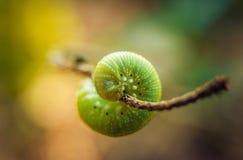 Caterpillar på ett blad royaltyfria foton