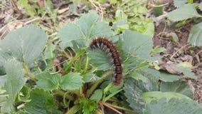 Caterpillar på ett blad Natur Royaltyfri Foto