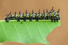 Caterpillar på ett mangoblad royaltyfria foton