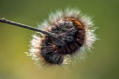 Caterpillar på filialen av busken royaltyfria bilder