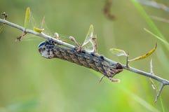 Caterpillar på filialen av busken arkivbilder