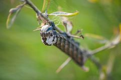 Caterpillar på filialen av busken arkivbild