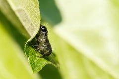 Caterpillar på leafen Fotografering för Bildbyråer