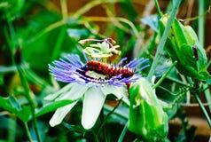 Caterpillar på lilablomman Royaltyfri Foto