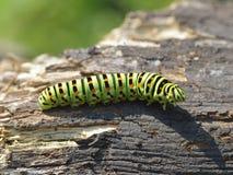 Caterpillar på naturen Royaltyfria Bilder