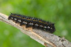 Caterpillar på stammen av en växt arkivbild