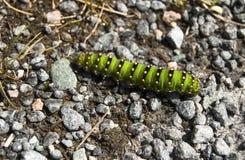 Caterpillar på stenar Royaltyfria Foton