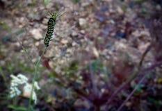 Caterpillar på stjälk Arkivfoton