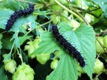 Caterpillar påfågelfjäril Fotografering för Bildbyråer