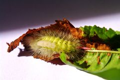Caterpillar of pale tussock. In a sherrytree leaf Royalty Free Stock Images