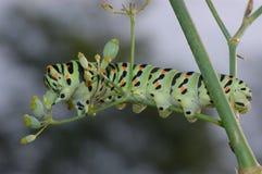 Caterpillar Papilio machaon Stock Image