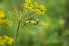 A caterpillar of a papilio machaon butterfly sitting on a dill flower. Macro close-up photo royalty free stock image