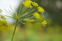 A caterpillar of a papilio machaon butterfly sitting on a dill flower. Macro close-up photo stock image