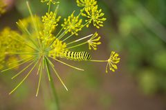A caterpillar of a papilio machaon butterfly sitting on a dill flower. Macro close-up photo stock images