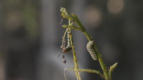Caterpillar of Papilio machaon stock video footage