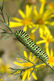 Caterpillar of Papilio machaon Linnaeus stock images