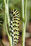Caterpillar Papilio machaon Stock Images
