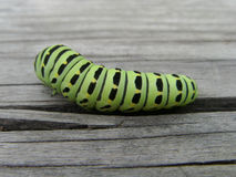 Caterpillar of Papilio machaon Stock Images