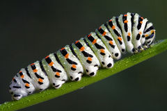Caterpillar of a Papilionidae Stock Photo