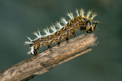 Caterpillar of Papilionidae in the head branch Stock Photo