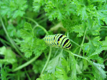 Caterpillar on Parsley. Black Swallowtail caterpillar on parsley plant Royalty Free Stock Photo