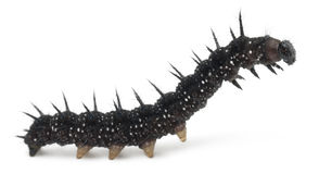 Caterpillar of a Peacock butterfly, Inachis io royalty free stock images