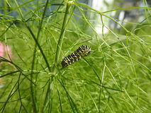 The caterpillar of the peacock feasts in the fennel. The caterpillar of the day peacock eats in its preferred context. The fennel Stock Photography