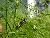 The caterpillar of the peacock feasts in the fennel. The caterpillar of the day peacock eats in its preferred context. The fennel Royalty Free Stock Photography