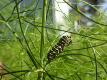 The caterpillar of the peacock feasts in the fennel Royalty Free Stock Photo