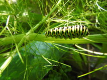The caterpillar of the peacock feasts in the fennel Stock Photography