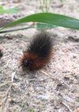 Caterpillar peloso fotografia stock libera da diritti