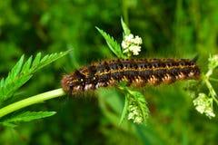 Caterpillar peloso Immagine Stock Libera da Diritti
