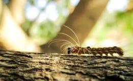 Caterpillar peloso Fotografia Stock