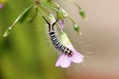 Caterpillar peloso (ordine di Lapiddoptera) Fotografie Stock Libere da Diritti
