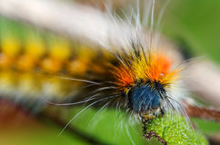 Caterpillar peludo e colorido - lótus de Psilogaster Fotos de Stock Royalty Free