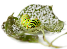 Caterpillar on perforated leaves Royalty Free Stock Photos